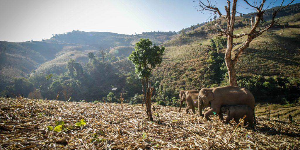 Elephants walking through grass
