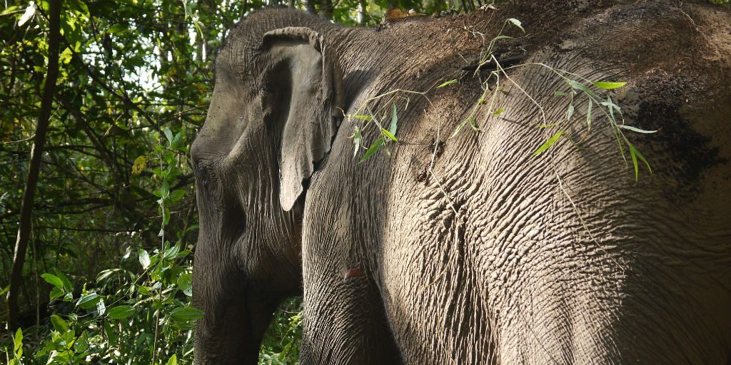Thanks to wildlife conservation, many Thai elephants have been reintegrated back into their natural environments and ways of life.