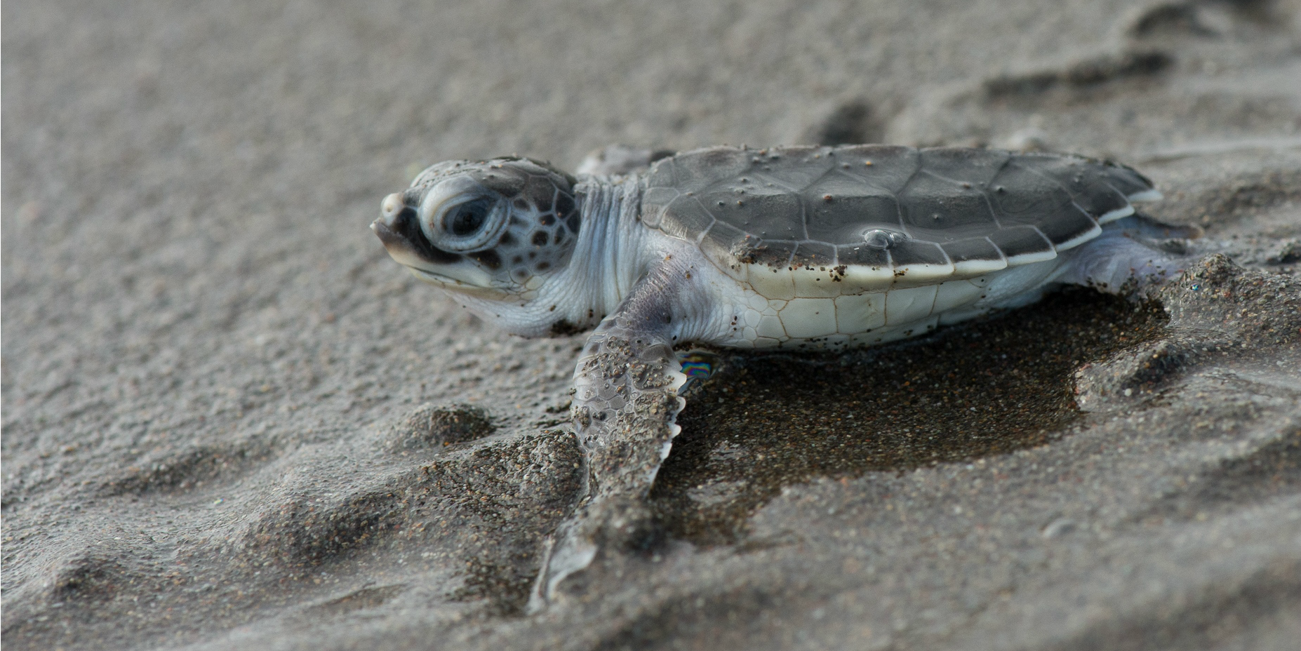 are sea turtles endangered