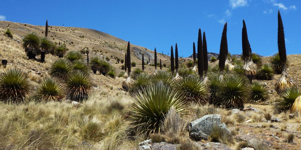Puya raimondii plant in Peru