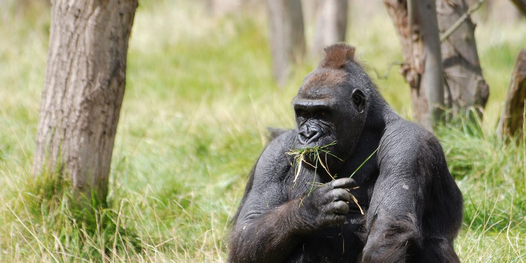 Gorillas are an endangered species who are in need of protection