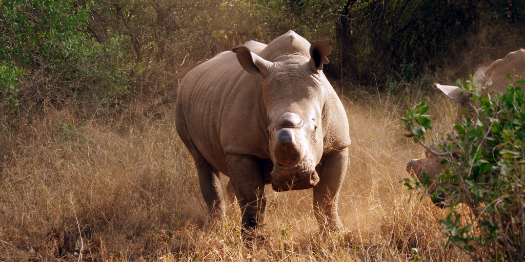 A rhino in a defensive pose, standing in the African savannah in Limpopo.