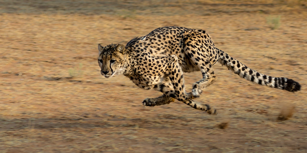 The cheetah is the fastest land animal.