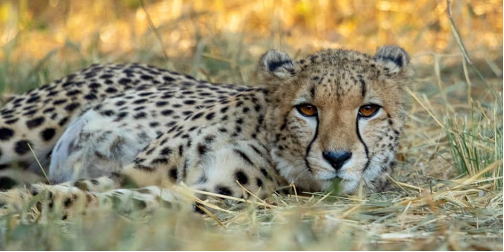 Volunteer to assist cheetah conservation.