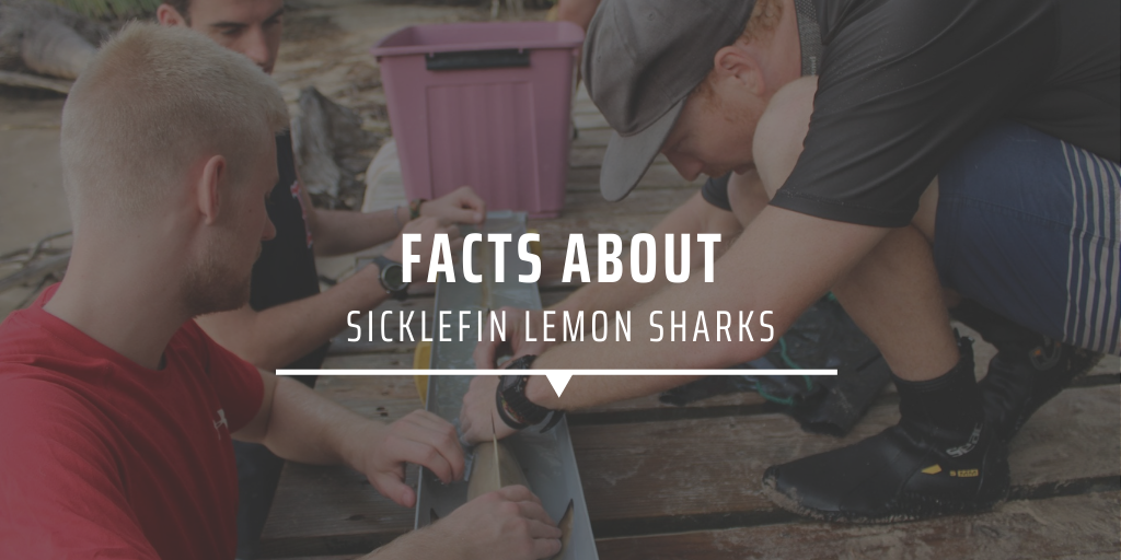 facts about sicklefin lemon sharks