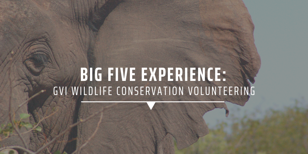 big five experience: gvi wildlife conservation volunteering