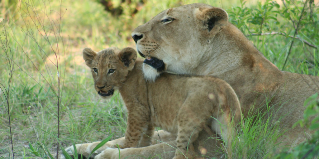 lion and cub big five