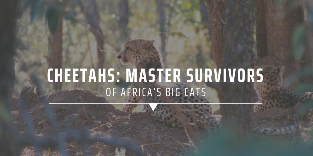 big cat conservation in Africa