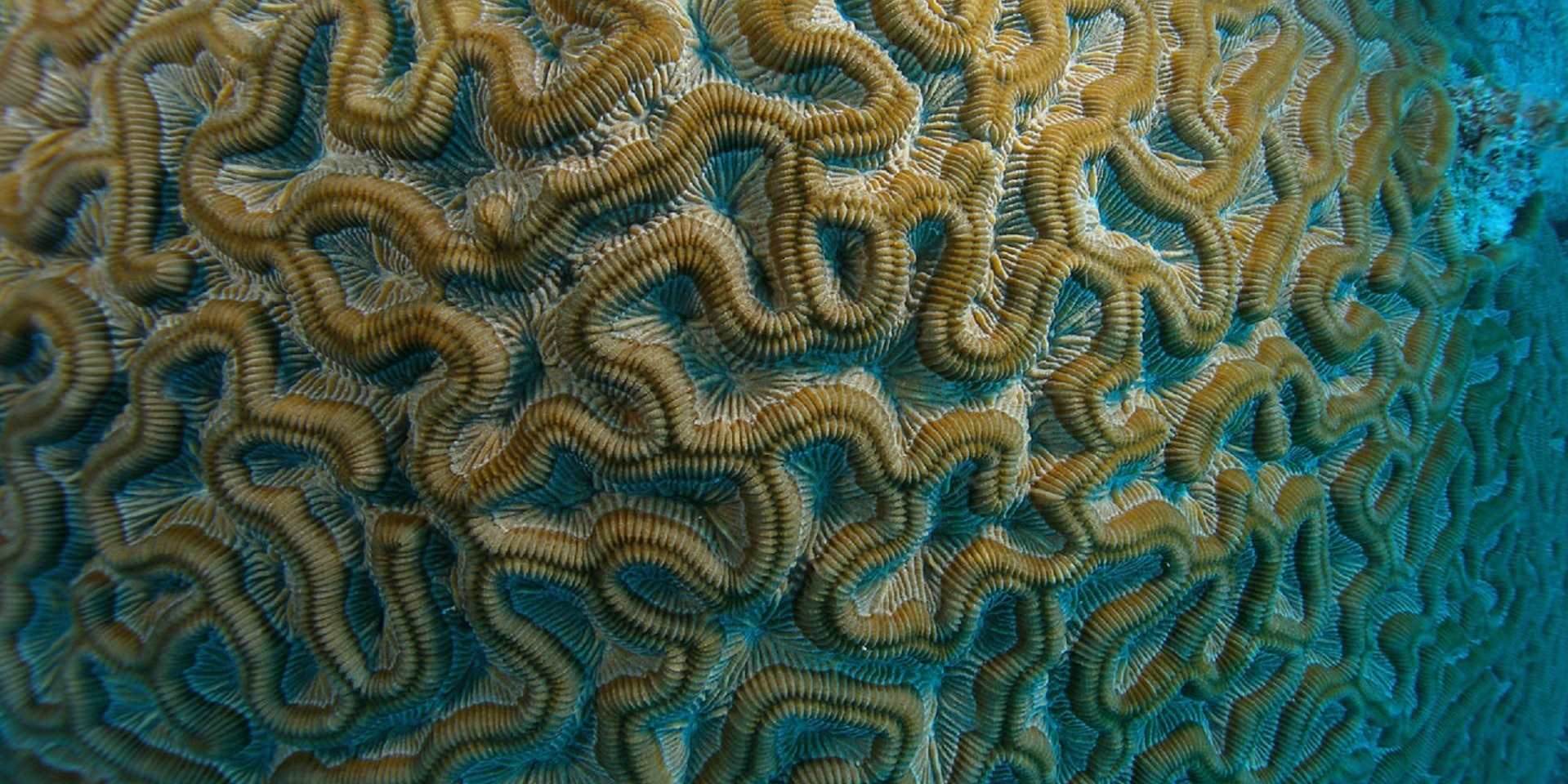 This brain coral is one of the species found off of Mexico in the Carribean Sea. GVI participants collect data on the fish and coral species in the region.