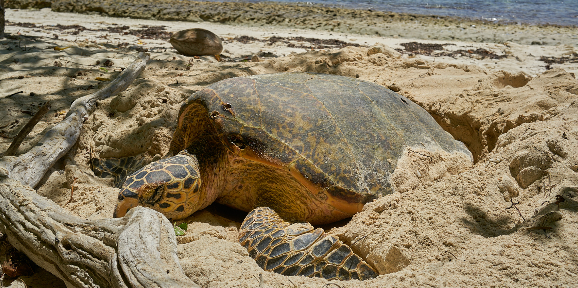 An endangered hawksbill turtle nests on a beach on Curieuse island in Seychelles. GVI participants help to monitor the abundant ecosystem on the island as part of marine conservation efforts.