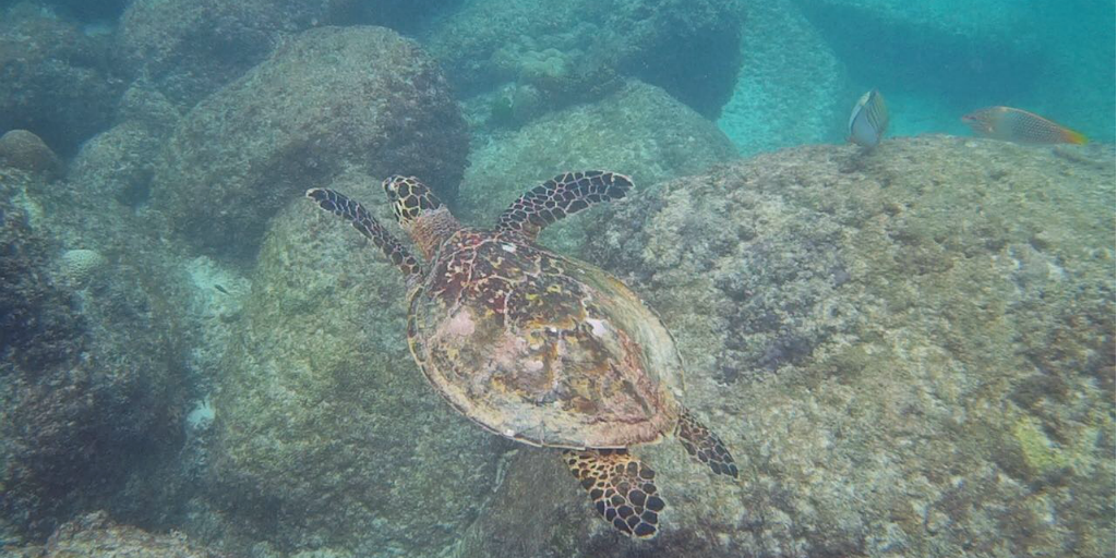 A sea turtle swimming above rocks on the seabed.