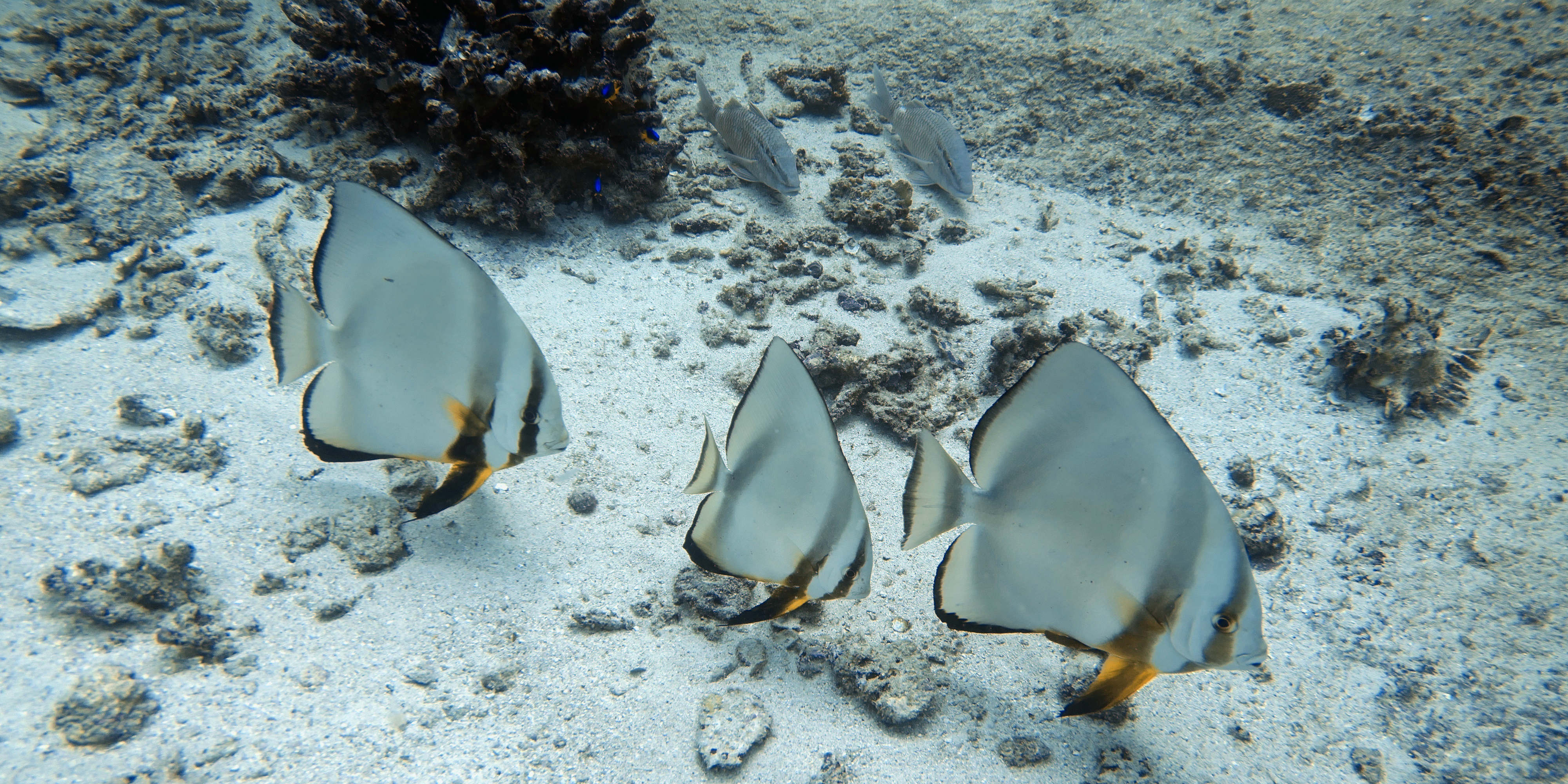 As a volunteer in Mahe, you might spot various species when diving the coral reef.