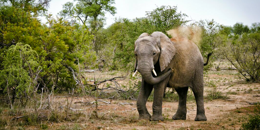 Why volunteer in Africa? You might witness behaviours such as this an African elephant throwing dust over its back in Karongwe Private Game Reserve.