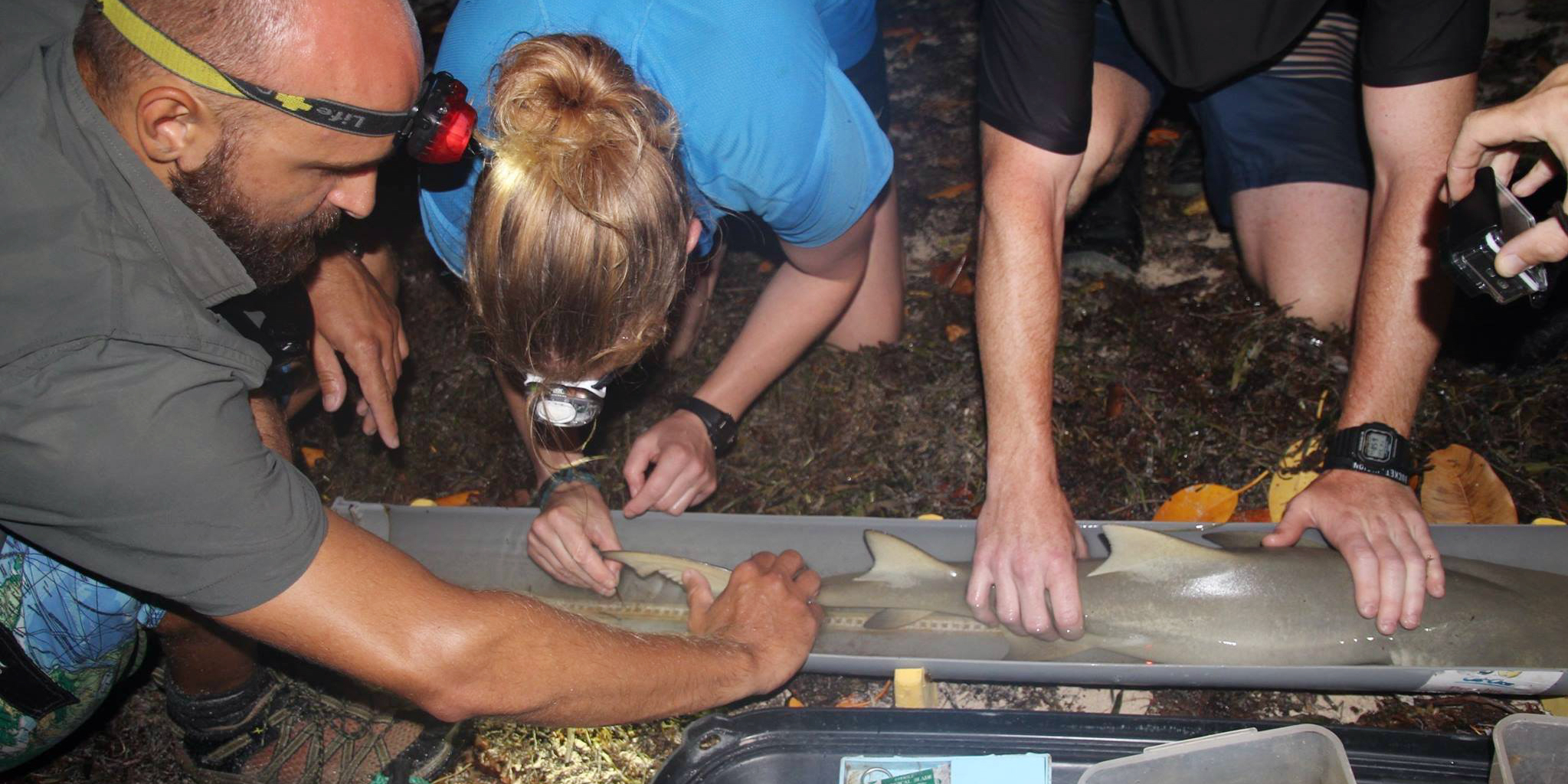 GVI participants catch and record data on the understudied sicklefin lemon shark in Seychelles. Top volunteer abroad programs should seek to make an impact through valuable insights and data.