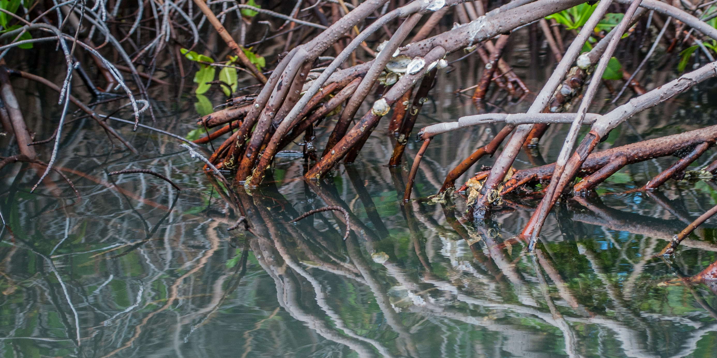 Mangrove roots are nurseries for species such as the sicklefin lemon shark.