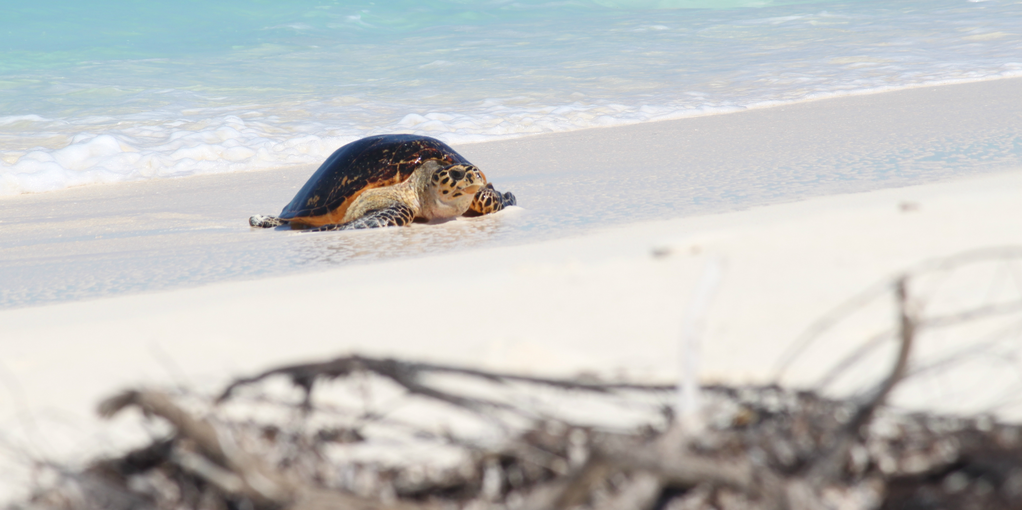 A hawksbill turtle on a beach in the Seychelles archipelago, where wildlife conservation efforts focus on returning balance to nature.