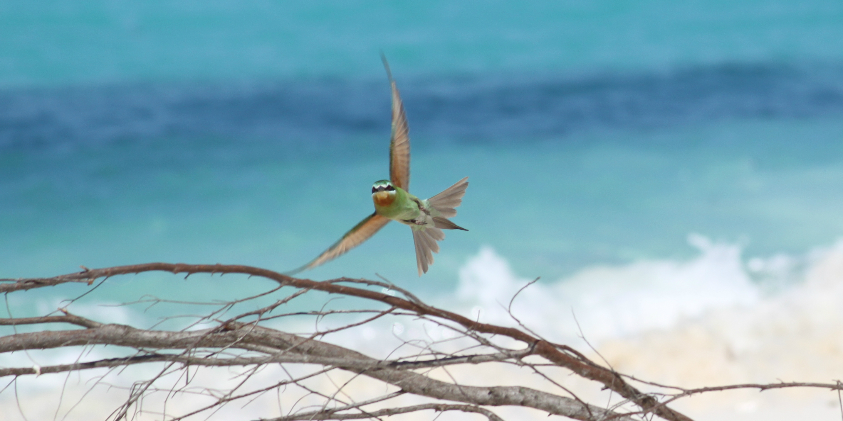 A bee-eater flies through Bird Island, an ornithologist's haven for conservation in the Seychelles archipelago.