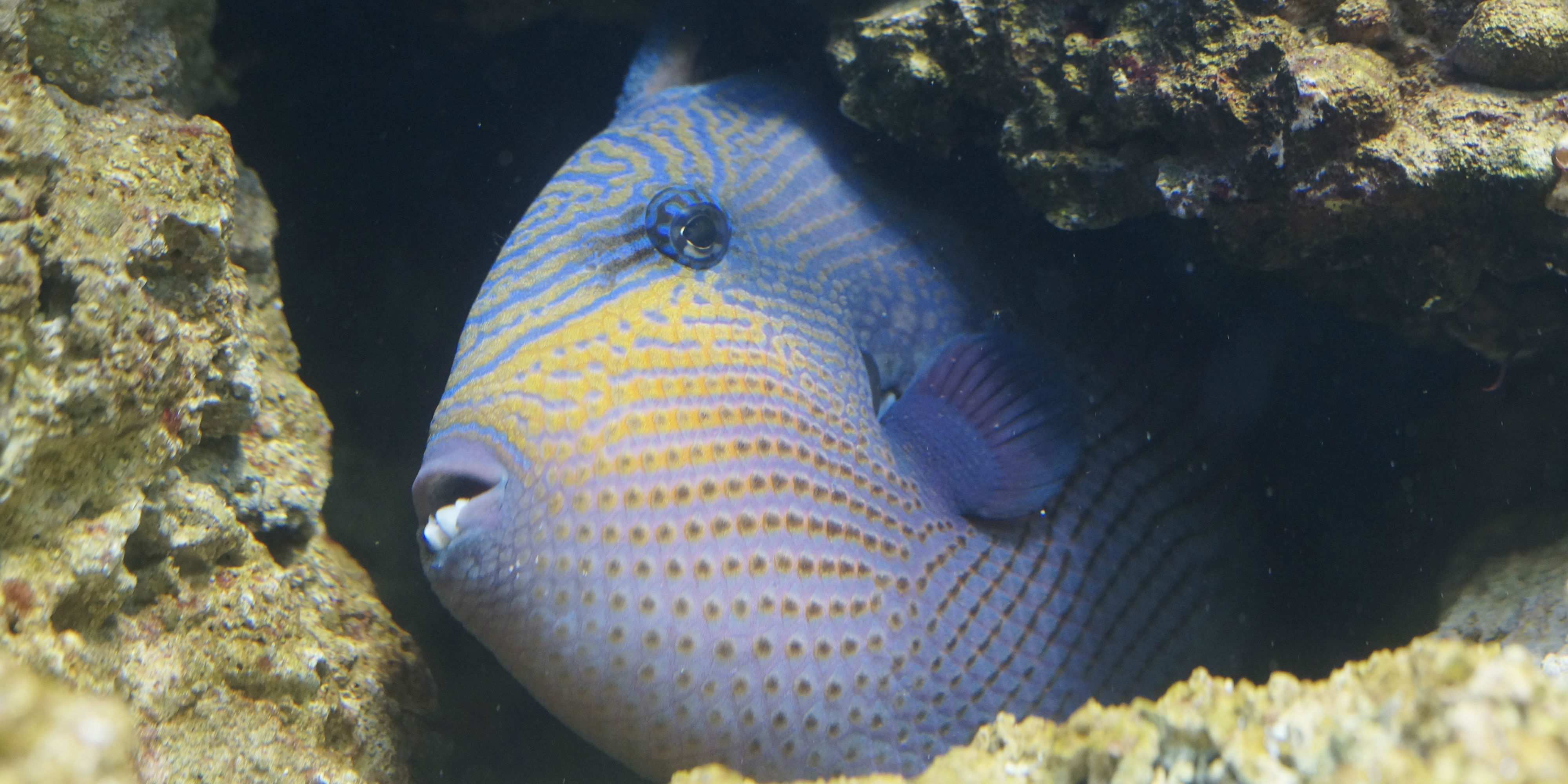 A triggerfish peeks out of its den in a coral reef surrounding the Perhentian Islands.