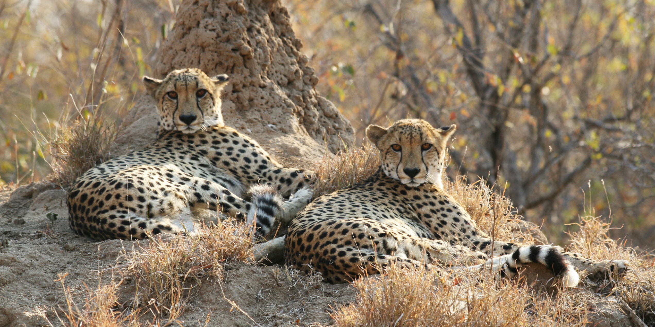 While volunteering with animals in Africa, you might spot these two cheetah males.