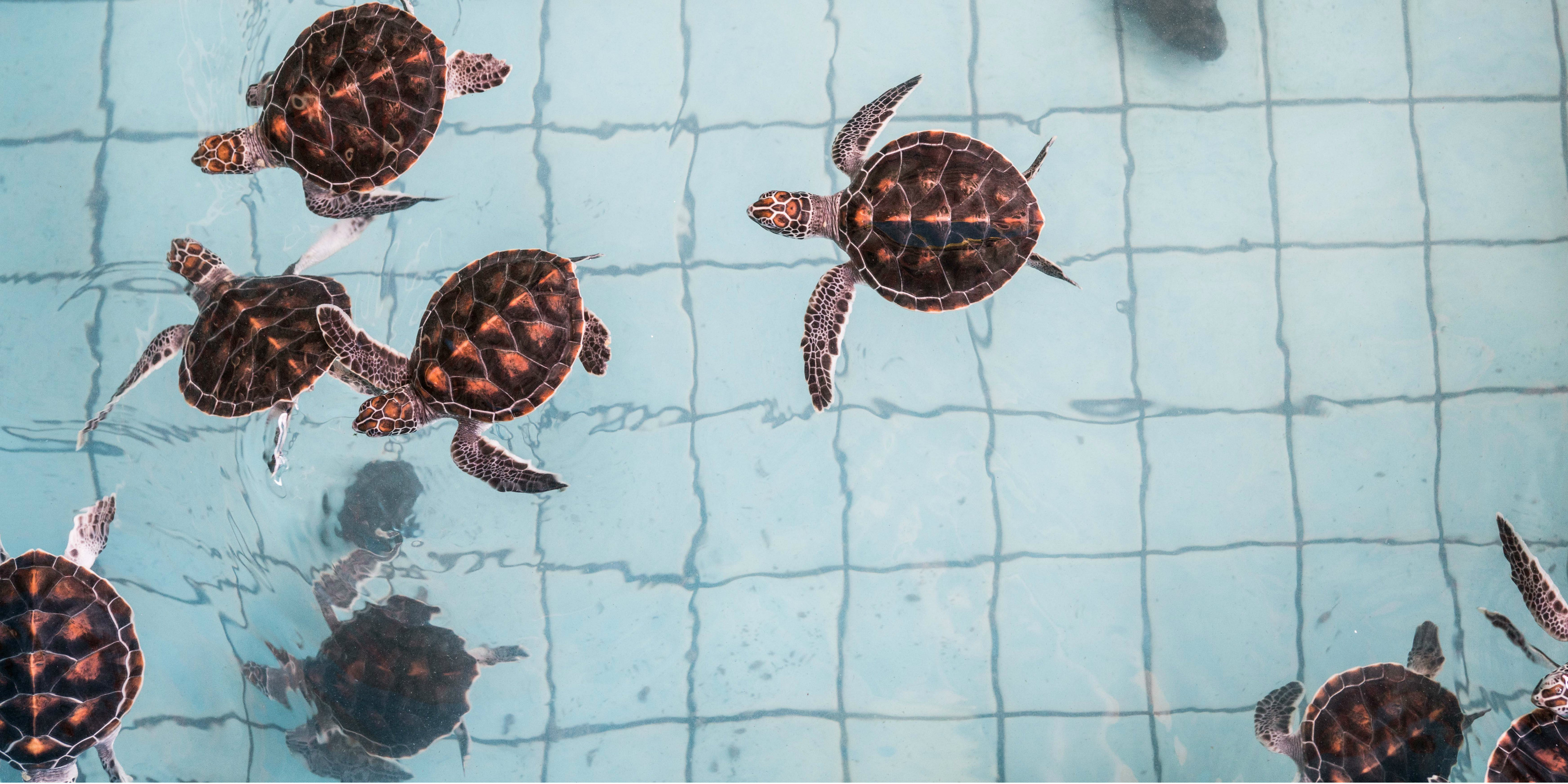 Growing sea turtles swim in a turtle tank as part of a sea turtle conservation program.