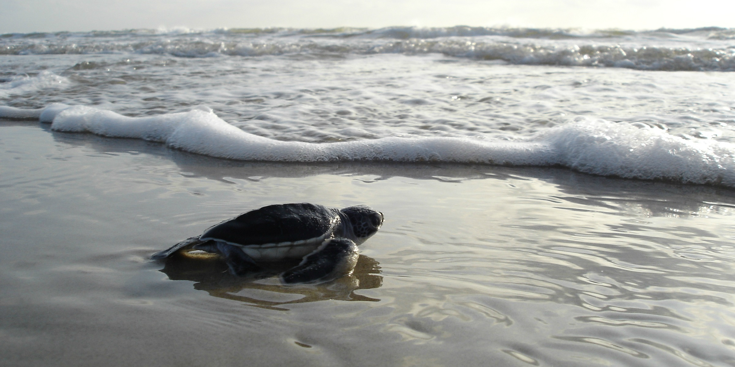 An endangered green sea turtle hatchling races to the ocean in Seychelles, where wildlife conservation never stops.