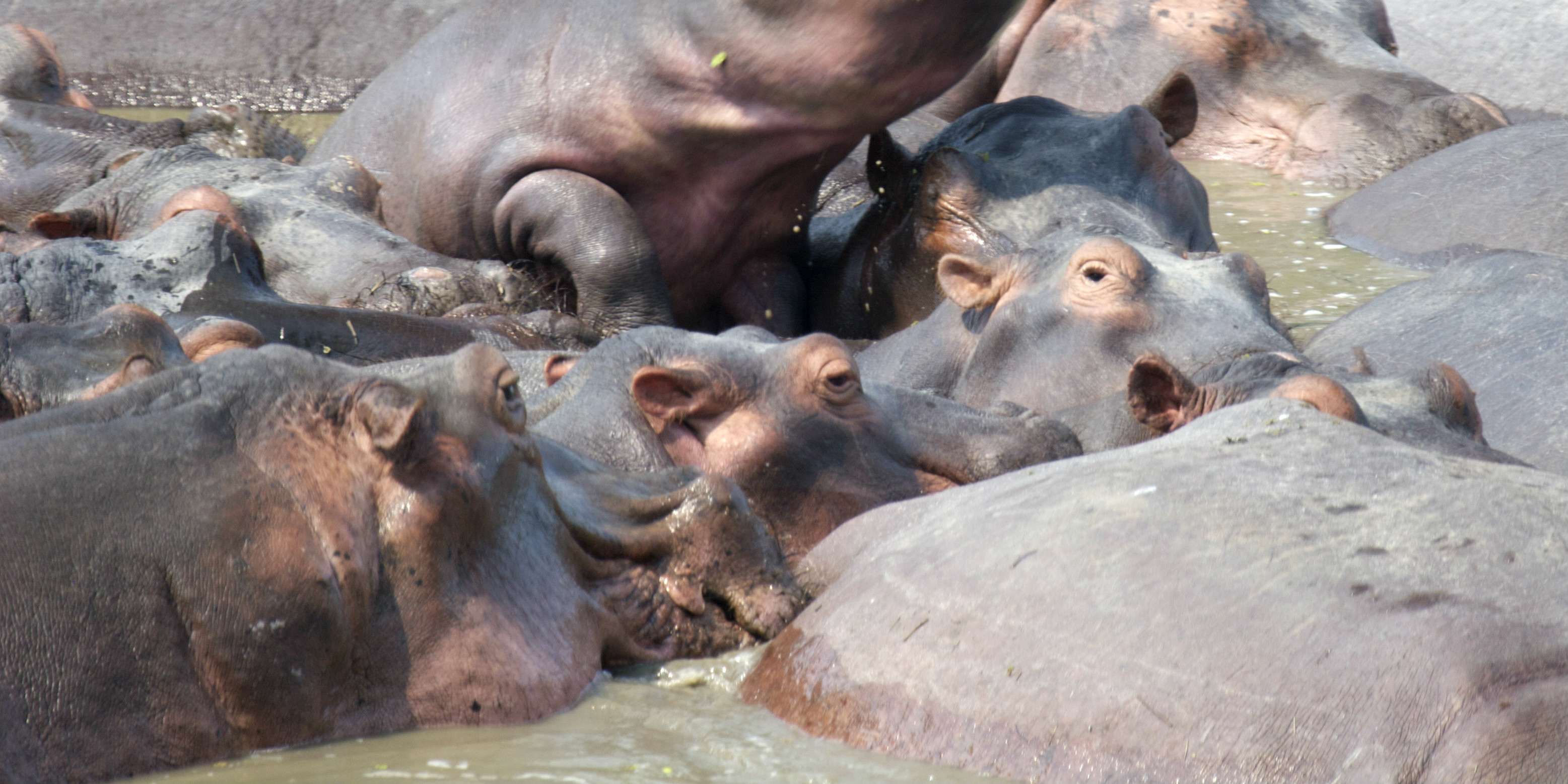 A pod of hippos are spotted neary to Livingstone, Zambia.