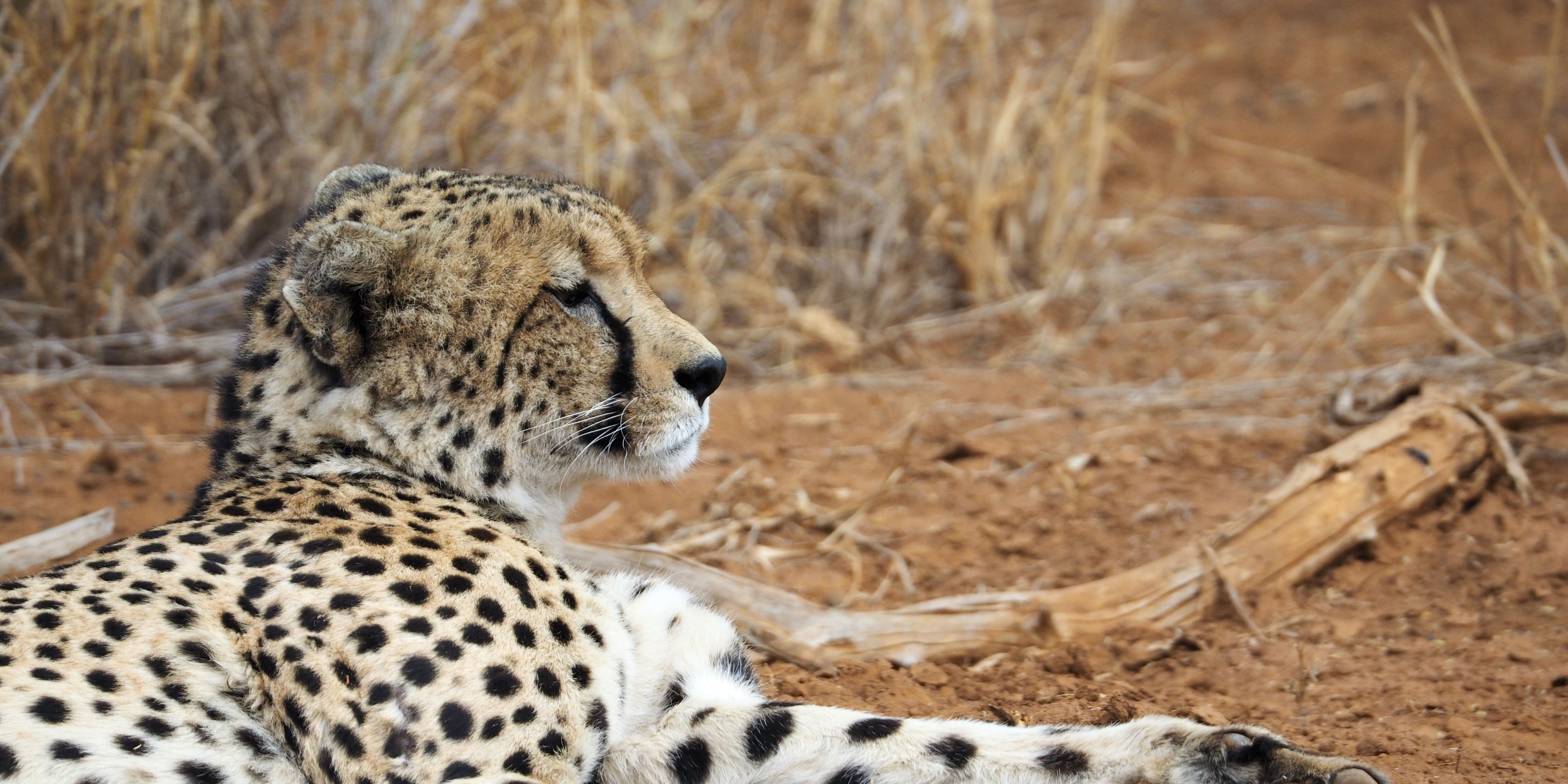A cheetah lounges on the ground. While volunteering with animals in Africa with animals, GVI participants might be lucky enough to spot on of the reserve's cheetah.