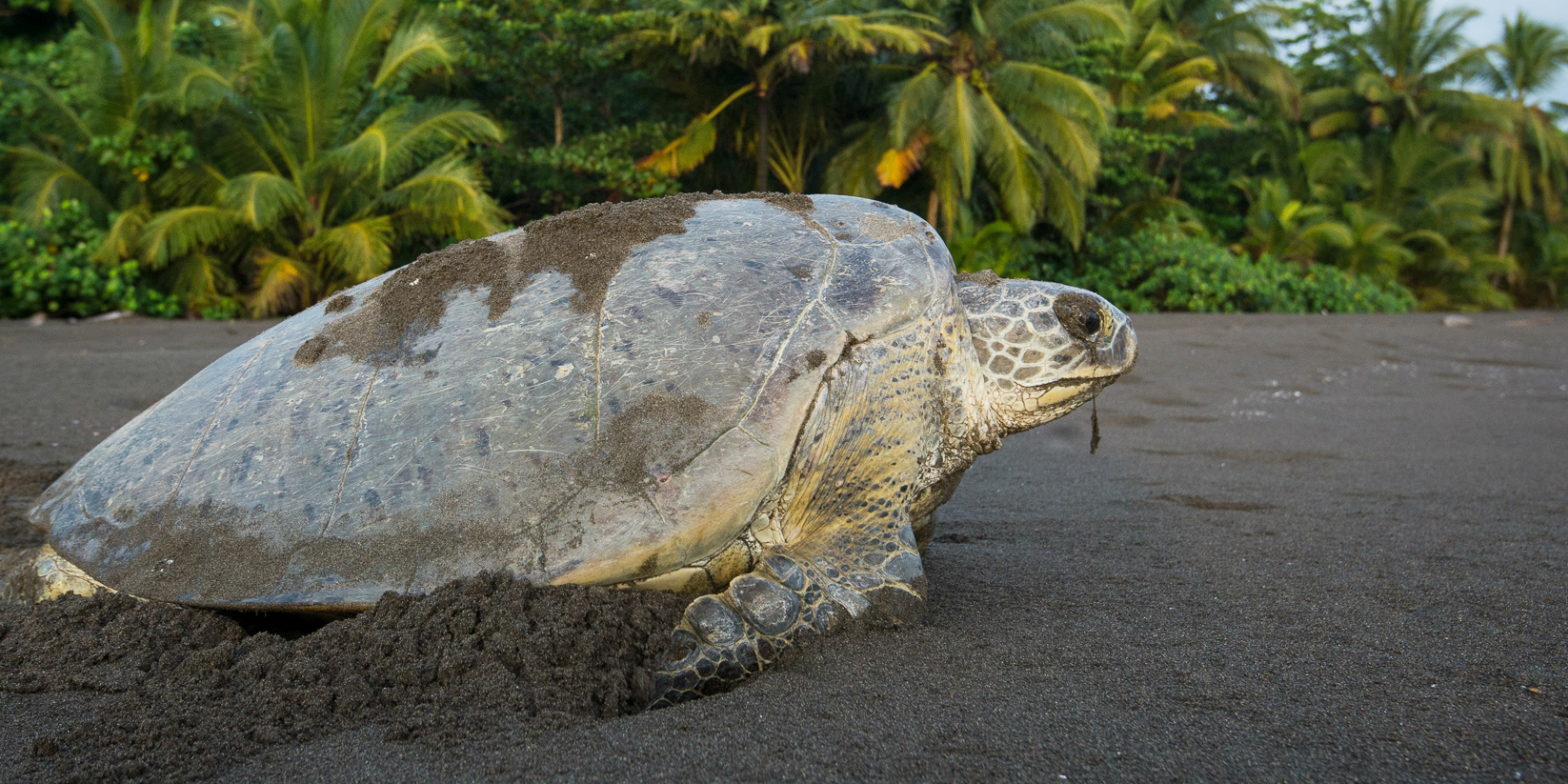 A green turtle crawls along a beach. This is one of the types of sea turtles in Costa Rica.