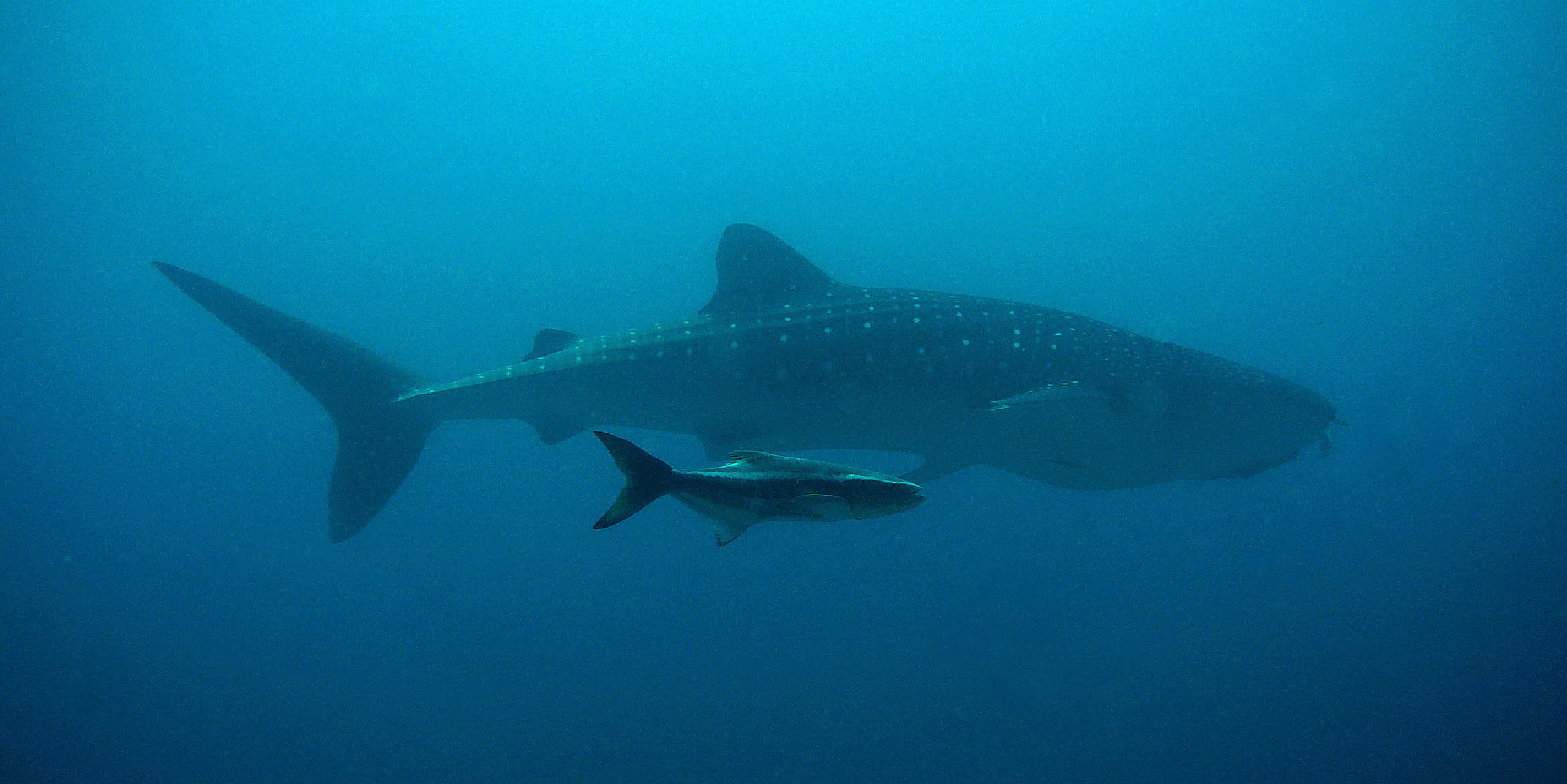 Swim with whale sharks in the Mesoamerican Barrier Reef System