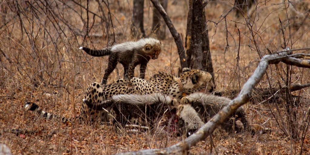 Mothe cheetah's are fitted with a tracking device when they have young cubs.
