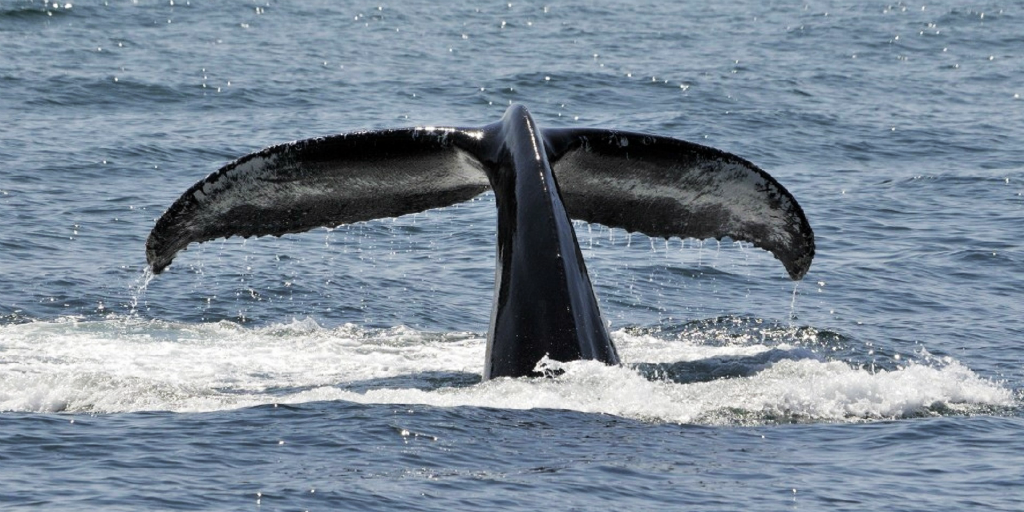 Noise pollution affects the way whales communicate with each other