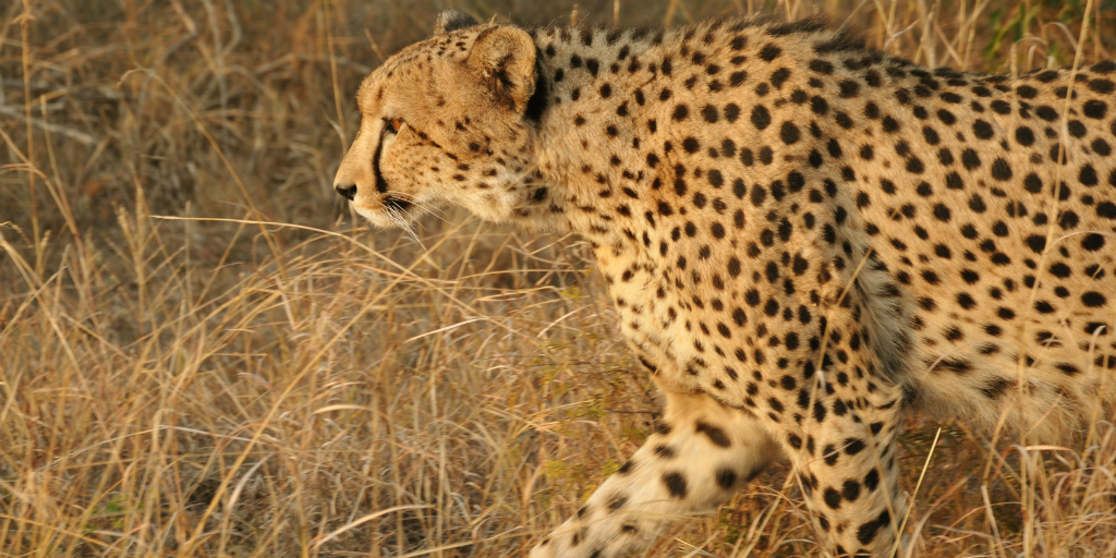cheetah walking through tall dry grass