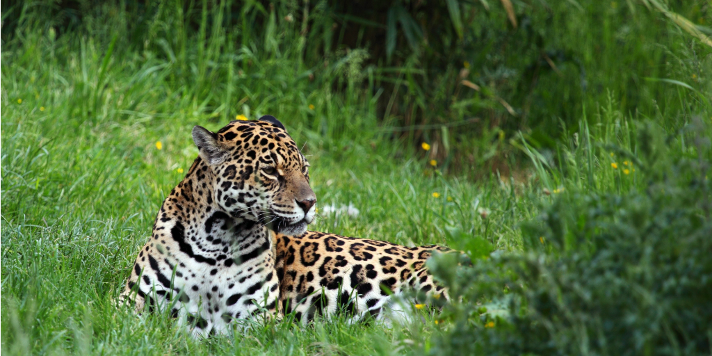 A jaguar laying in green grass.
