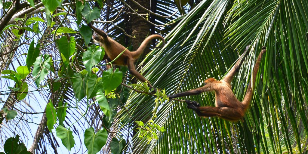 Wildlife in Costa Rica include monkeys.
