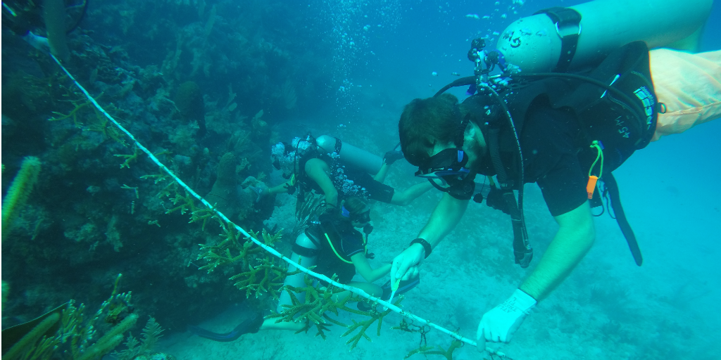 Divers using a measuring tape under water.