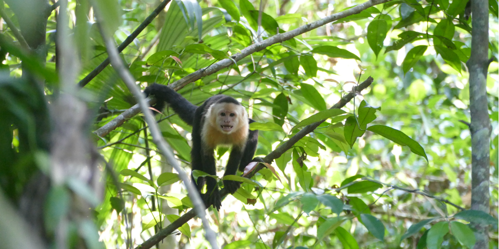 A cappuchin monkey moving through a treetop.