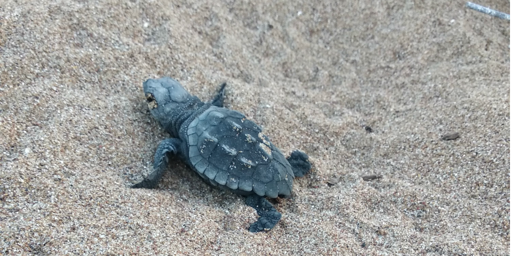 Protect loggerhead sea turtle eggs by volunteering in Greece.