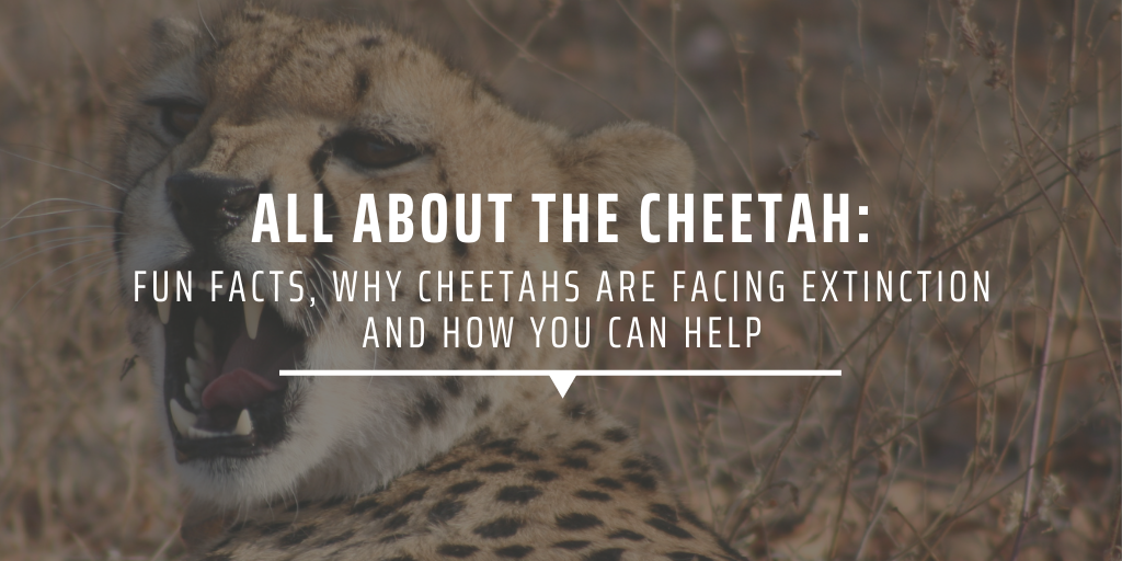 All about the cheetah: Fun facts, why cheetahs are facing extinction, and how you can help